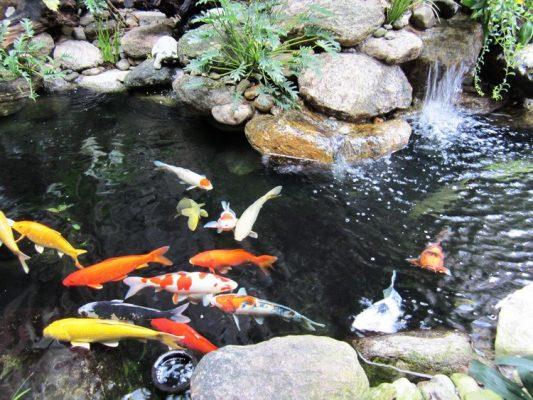 Thi công bể cá Koi